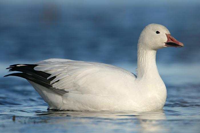 snow goose 5