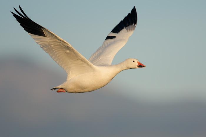 snow goose 25