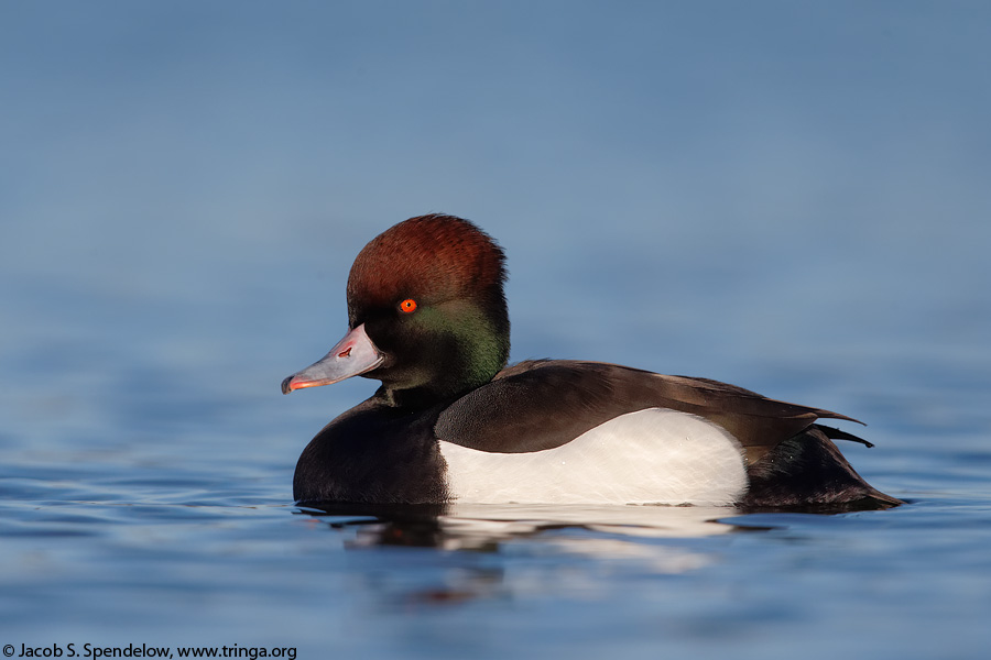 Hybrid duck, Red-crested Pochard X Tufted Duck