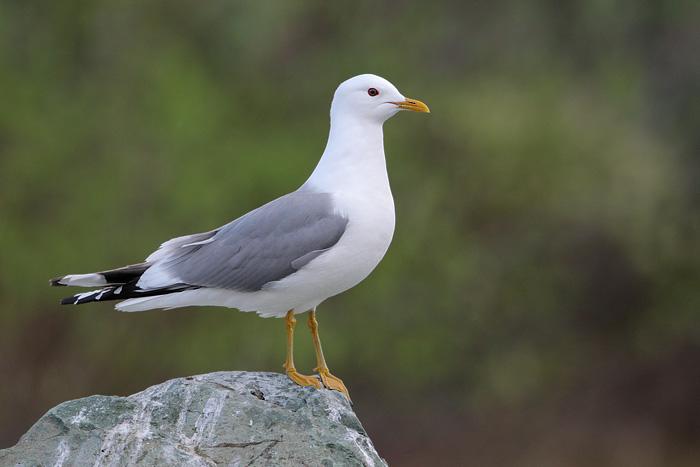 Mew Gull 2