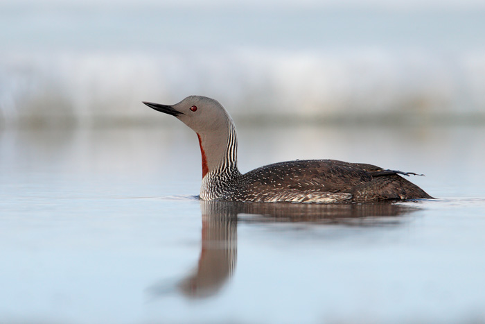 Red throated loon winter