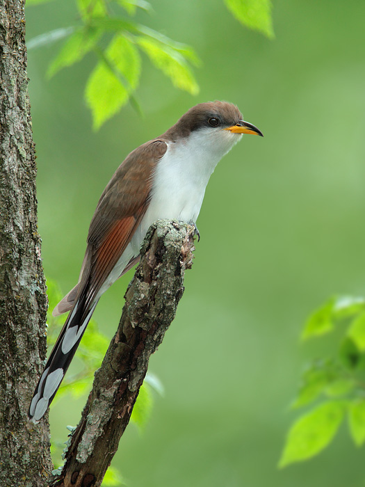 Image result for yellow-billed cuckoo