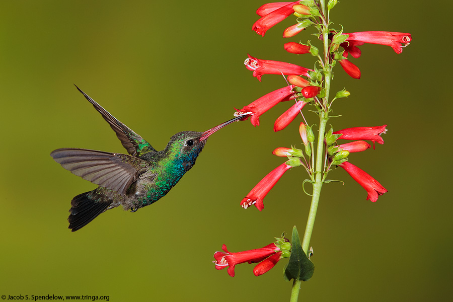 Broad-billed Hummingbird