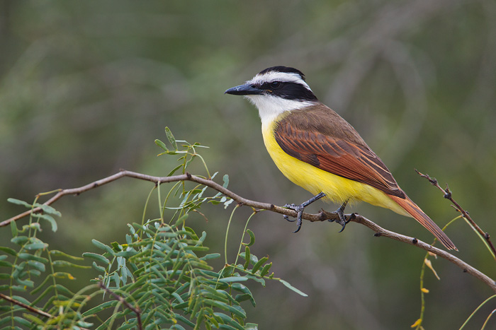 Great Kiskadee 4