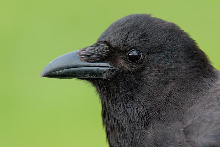 Northwestern Crow