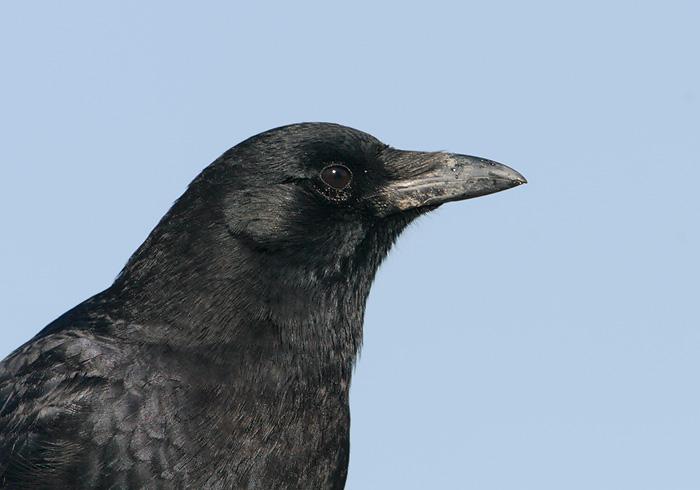 American Crow 1: www.tringa.org/image/5872_American_Crow_02-16-2007_0