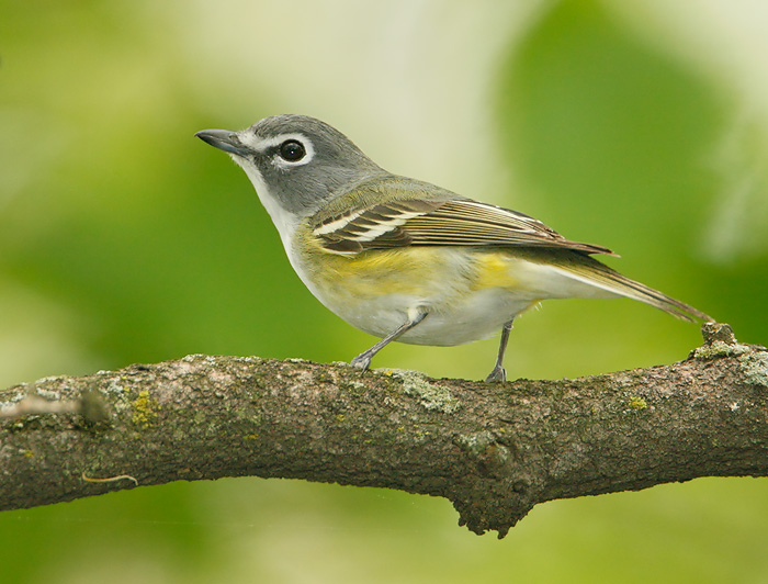 Vireo - photo#1