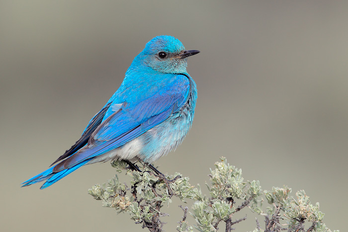Image result for mountain bluebird