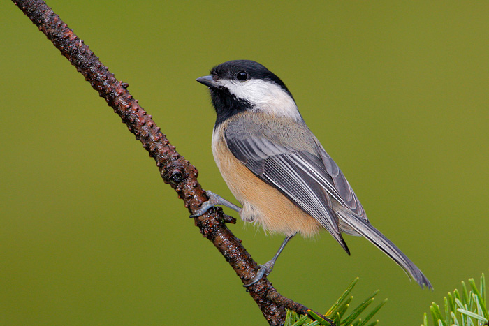 Black-Capped Chickadee's Secret Diet