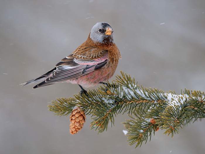 Gray-crowned Rosy-Finch (Coastal Race, Hepburn's Race)