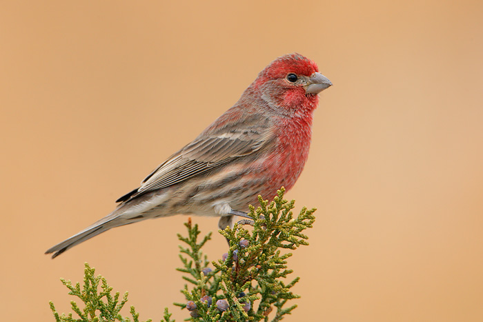 House Finch 17