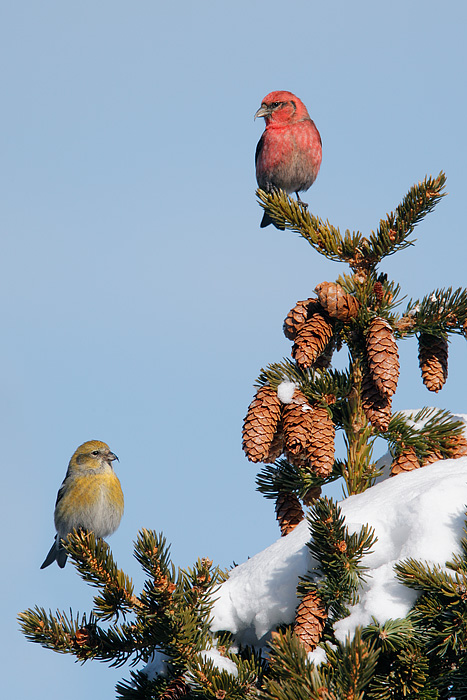 White-winged Crossbill