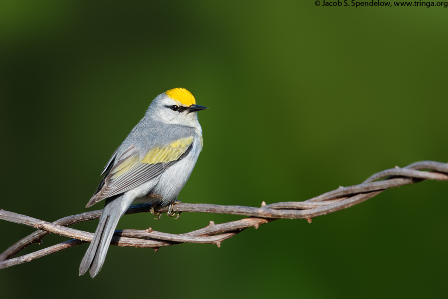 Brewster's Warbler (Golden-winged X Blue-winged, dominant)