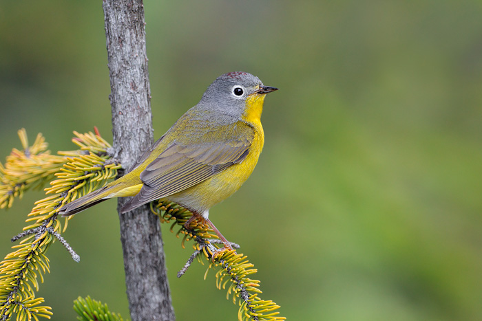 Nashville warbler - Wikipedia