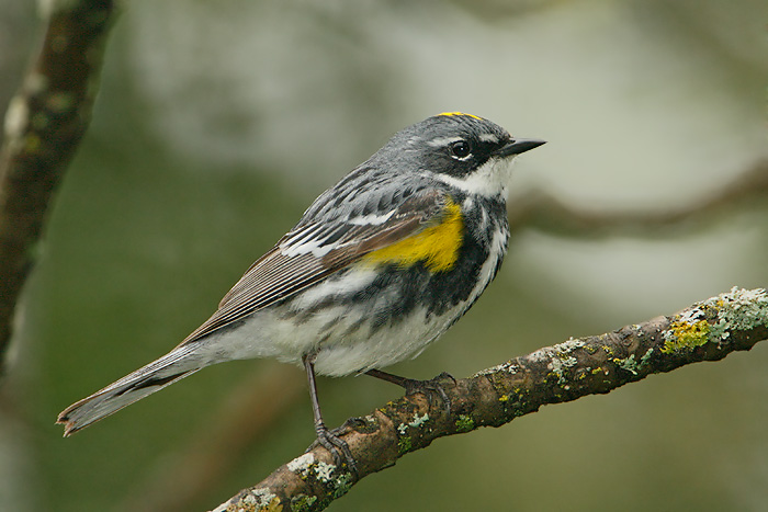Yellow-rumped Warbler Related Keywords  amp  Suggestions - Yellow-rumped
