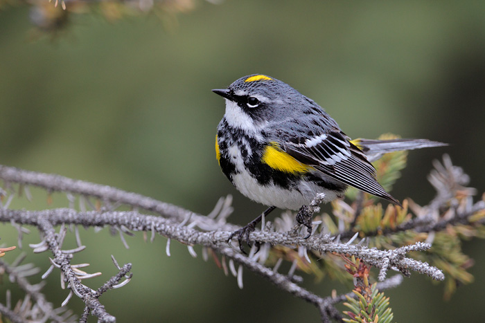 Yellow Rumped Warbler Images  amp  Pictures - Becuo
