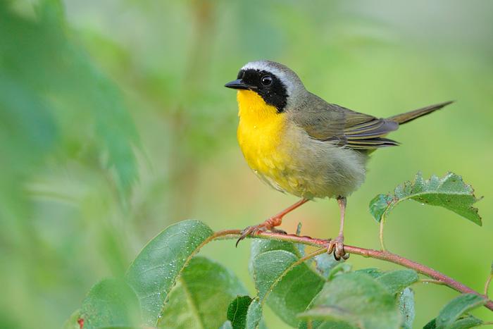 Yellow Throat Warbler 14