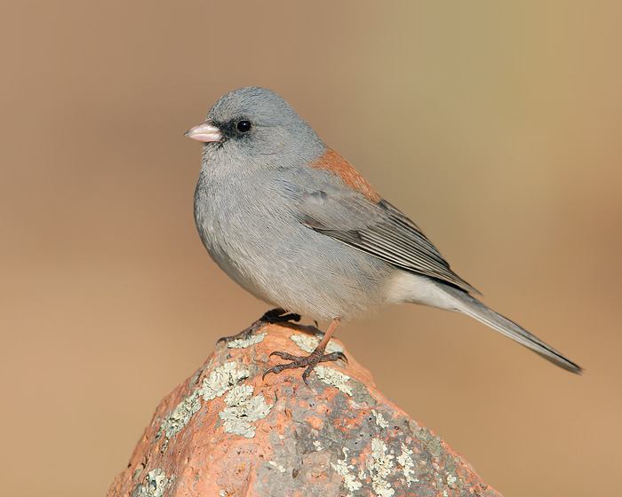 Dark-eyed Junco (Gray-headed Junco)