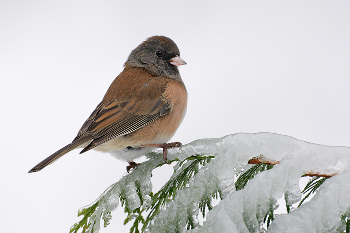 Dark-eyed Junco (Oregon Junco)
