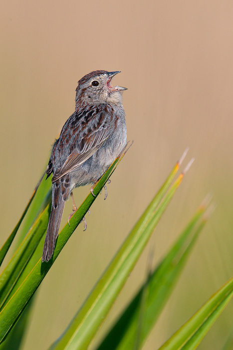 bachman sparrow Discover how long bachman's sparrow lives our data: we use the most recent data from these primary sources: who, world bank, unesco, cia and individual country databases for global health.