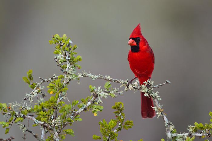 Northern Cardinal 24: www.tringa.org/image/9626_Northern_Cardinal_01-20-2012_4