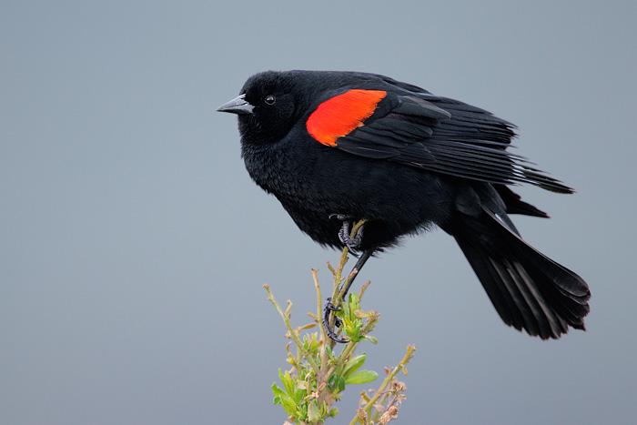 Bird Song Red Wing Blackbird 108