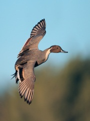 Northern Pintail