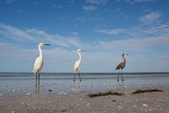 Snowy, Great, and Reddish Egrets