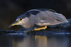 Black-crowned Night-Heron (Local Name: 'Auku'u)