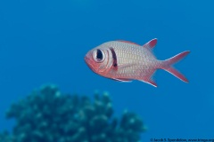Pearly Soldierfish