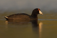 Hawaiian Coot (Local Name: 'Alae ke'oke'o)