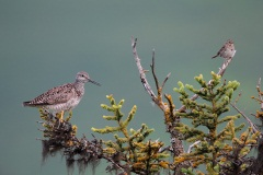 Greater Yellowlegs and Lincoln's Sparrow