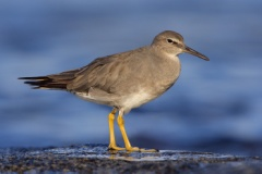 Wandering Tattler (Local Name: 'Ulili)