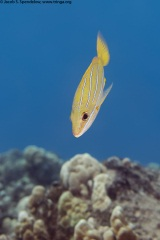 Bluestripe Snapper