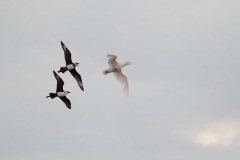 Pomarine Jaegers and Glaucous Gull