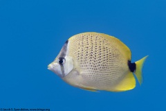 Milletseed Butterflyfish