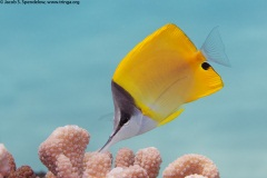 Common Longnose Butterflyfish