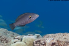 Belted Wrasse