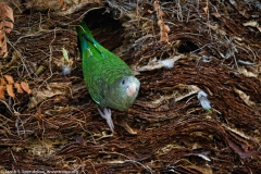 White-winged Parakeet