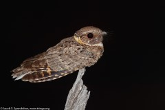 Buff-collared Nightjar