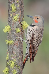Northern Flicker (Red-shafted Flicker)