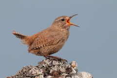 Pacific Wren (Pribilof Islands Race)