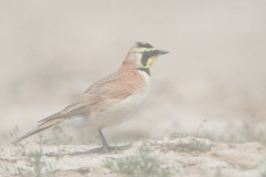 Horned Lark in Dust Storm