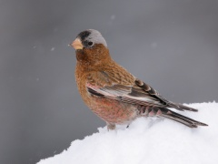 Gray-crowned Rosy-Finch (Interior Race)
