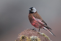 Gray-crowned Rosy-Finch (Pribilof Islands Race)