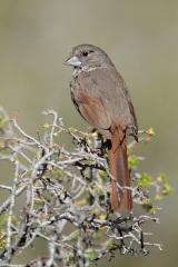 Fox Sparrow (Thick-billed Fox Sparrow)