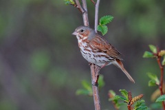 Fox Sparrow (Red Fox Sparrow)