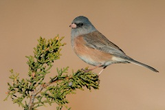 Dark-eyed Junco (Pink-sided Junco)
