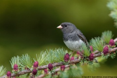 Dark-eyed Junco (Slate-colored Junco)