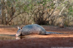 Nine-banded Armadillo